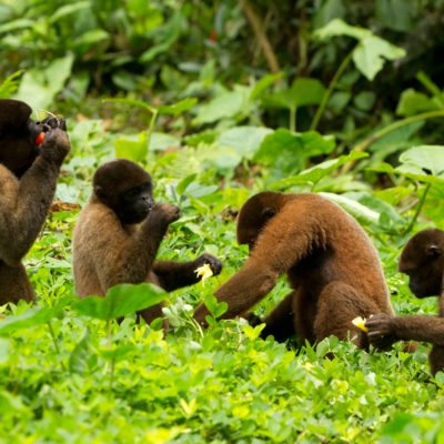 9253923 – family of chorongo monkey in ecuadorian jungle. wildlife shoot
