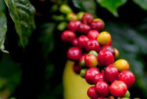 plody kávovníku těsně před sklzní