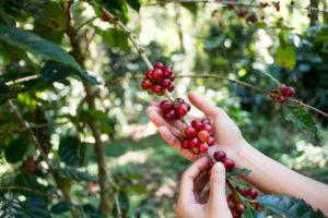 Sklizeň zrnkové kávy